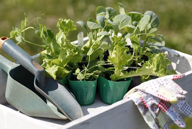 Когда сажать капусту в открытый грунт?