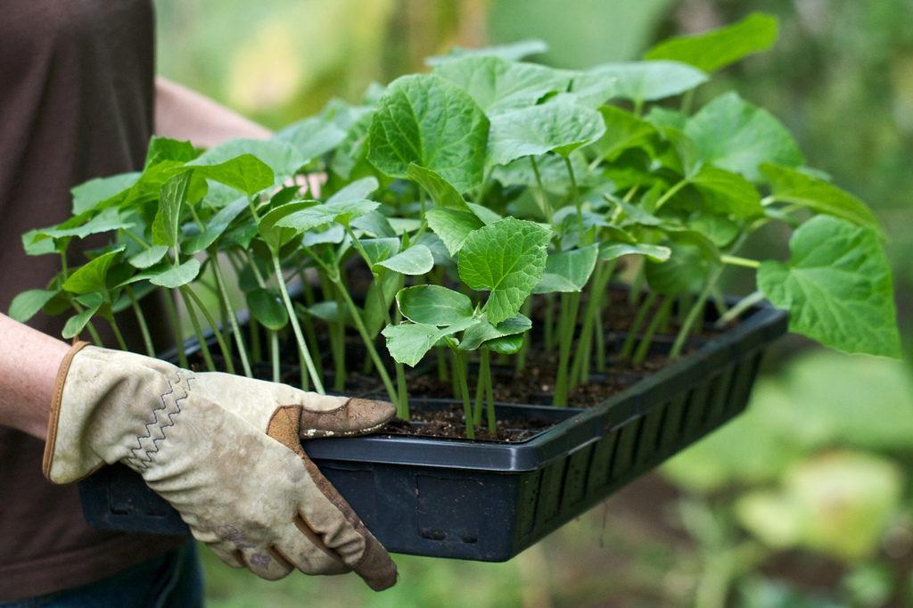 Когда сажать огурцы на рассаду в теплицу?