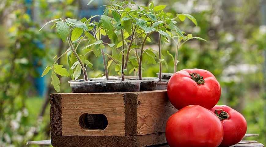 Когда сажать помидоры на рассаду?