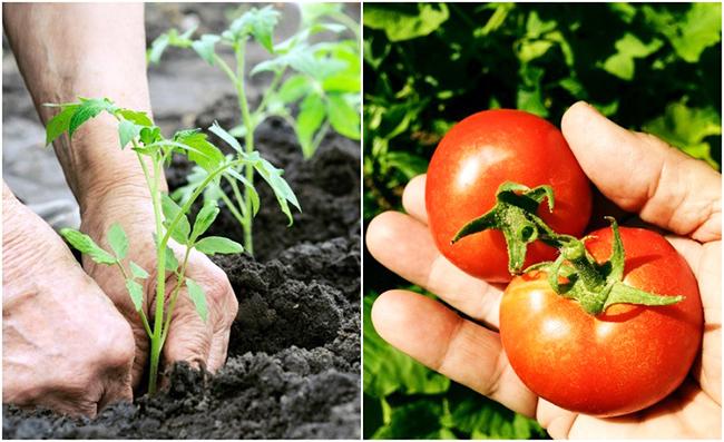 Когда сажать томаты на рассаду?