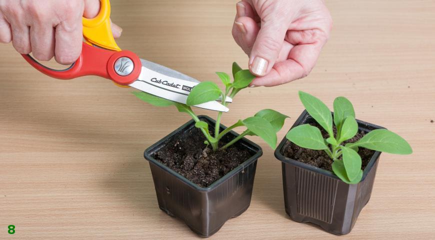 Когда высевать петунию на рассаду?