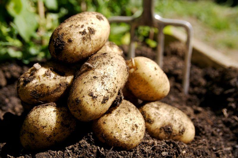 Когда сажать картофель по лунному календарю?
