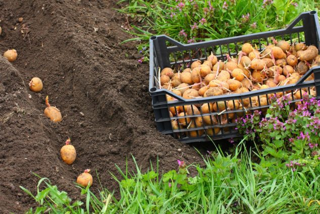 Когда сажать картошку по лунному календарю