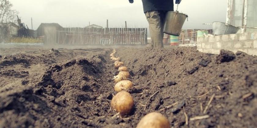 Когда сажать картошку?